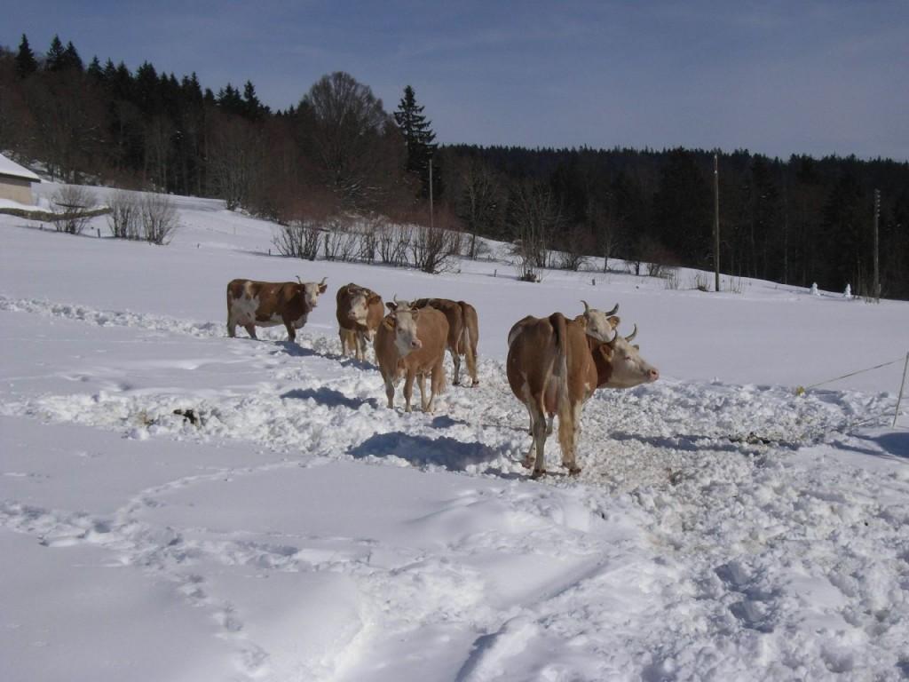 Les vaches sont de sortie!